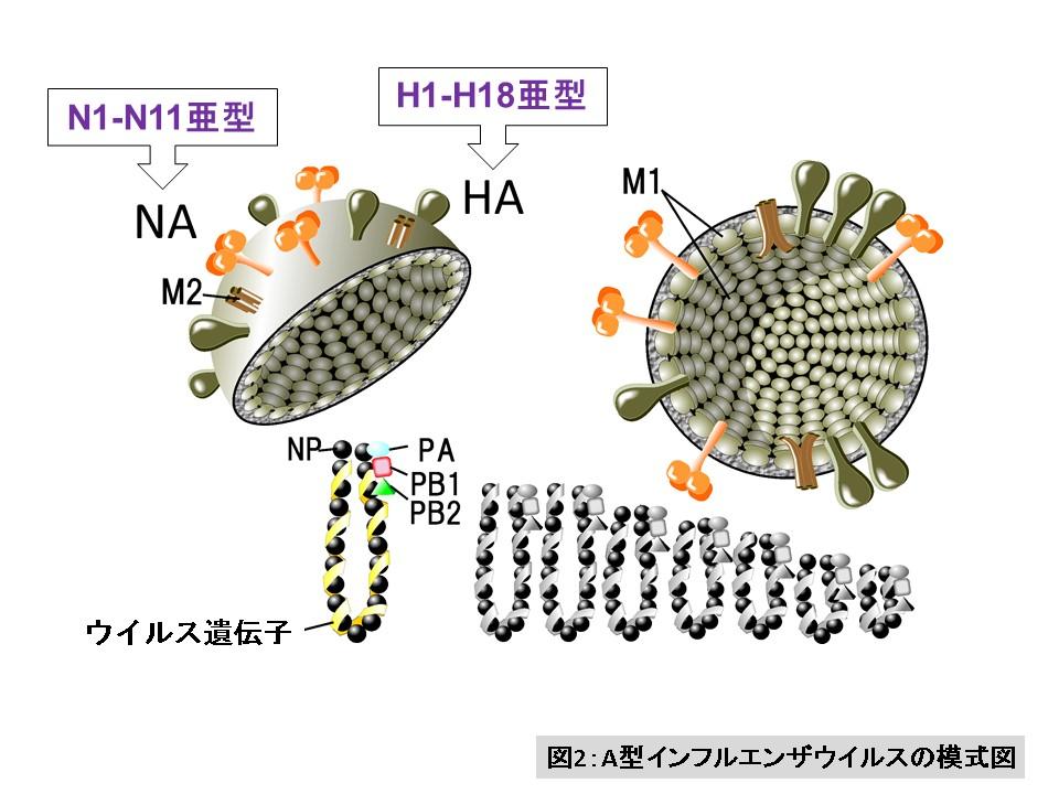 インフルエンザ a 型